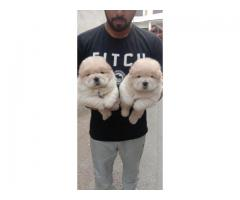 Excellent ChowChow Puppies Available Here Tavaqqo Pet's Store