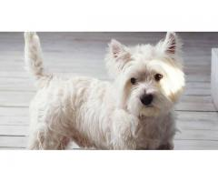 Excellent White Terrier Puppies For Sale Tavaqqo Pet's Store