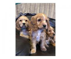 Tavaqqo Pet's Store Top quality Cocker Puppies Are Available..