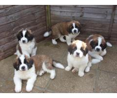 Tavaqqo Pet's Store Top quality St.Bernard Puppies Are Available..