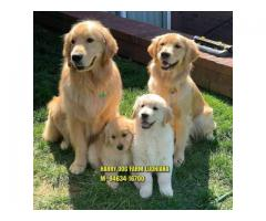 Fablious Quality Golden Retrievers Puppy In Kotakpura