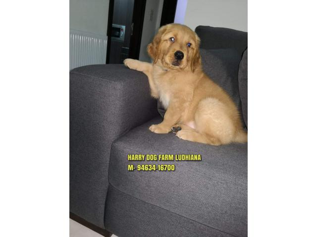 Outstanding Suprbb Quality Golden Retriever Puppies In Kapurthala