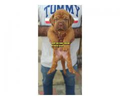 Show Quality FRENCH MASTIFF Puppies In Chandigarh