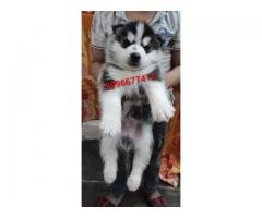 Show quality Husky puppy Available