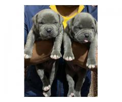 American bully puppy for sale