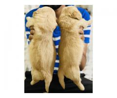 Golden retriever heavy boned puppies for sale