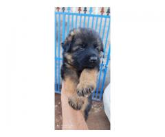German shepherd male puppy available