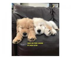 Excellent Quality Golden Retrievers Puppy Heavy Quality In Faridabad