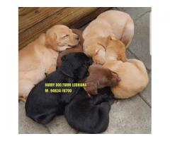 Show Quality LABRADOR Puppy In Chandigarh