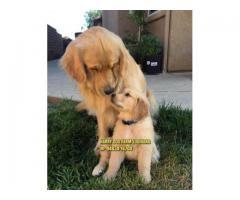 Suprbb Quality Golden Retriever Puppies In Haryana