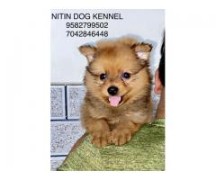 Culture toy pom puppy available for new home 9582799502