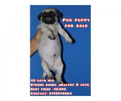 Pug puppy 40 days old for sale.