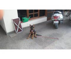 2.5 Month Old German Shephard for Sale at Faridabad