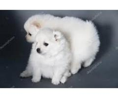 AMERICAN ESKIMO puppies ava.for sale @dogs kennel