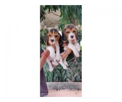 Quality beagle puppies for sale in Chennai call 7200040780