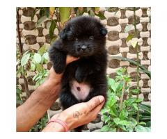 Toy Culture Pom Pups For Sale Male Available In Delhi Call Now..9654249090