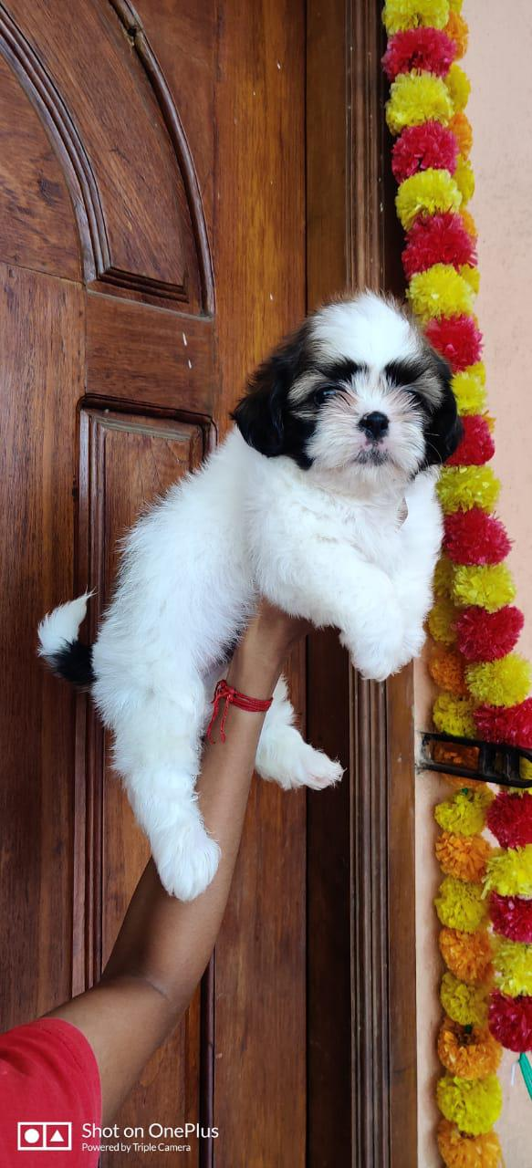 Good quality shihtzu puppy available in chennai