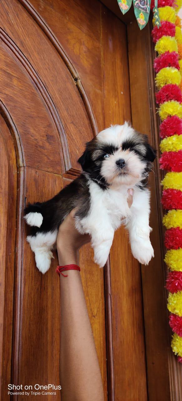 Quality shihtzu puppies for sale in Chennai call 7200040780