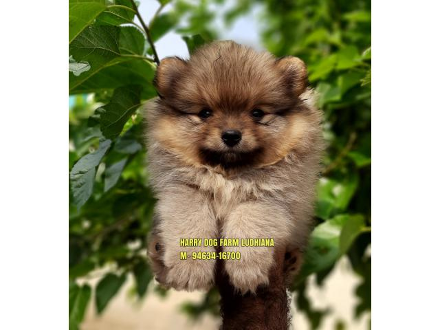 Outstanding Quality Toy Pom Small Size In Chandigarh