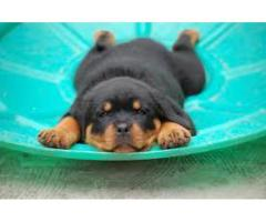 HEAVY BREED ROTTWEILER PUP AVL FOR SALE IN DELHI NCR