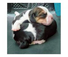 New Born Beagle puppies. Booking open. Call - 9888341827 or 9780741013