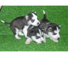 Siberian Husky Pups Wolly coat in Jalandhar and Chandigarh - 9888341827