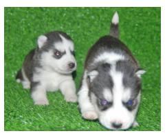 Siberian Husky Pups Wolly coat at 25000/- call 9888341827