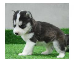 Buy Siberian Husky Pups in India - 9888341827