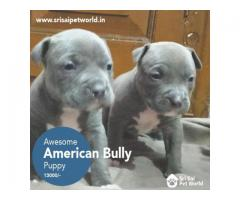 American Bully puppies in India
