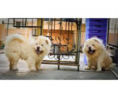 High Pedigree Chowchow Pups For Sale Khwabeeda Dreamy Pet's  Call Now-9654249090