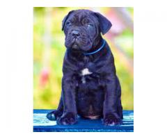 AWESOME QUALITY ((CANECORSO)) ava.in pets kennel...@8810523600