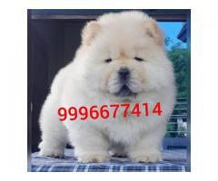 Import line Chow Chow pup Available