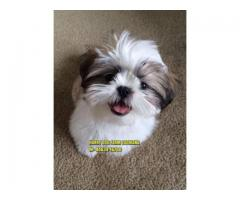 Import Quality SHIHTZU Puppies In Solan