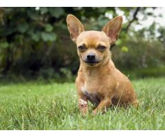 Chihuahua puppy available in chennai call 9840040780