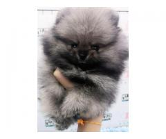 Lallan Top Quality Toy Pom Puppies Available Tavaqqo Pet's Store 8882234770