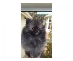 Lallan Top Quality Real Pom Puppies Available Tavaqqo Pet's Store 8882234770