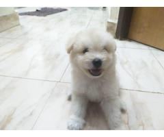 Lhasa apso male puppy 40 days old .