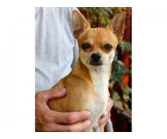 Chihuahua puppy for sales in chennai call 9840040780