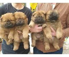 8368241911 Extraordinary Chow Chow puppies available