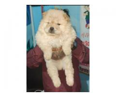Chow Chow Top quality puppies