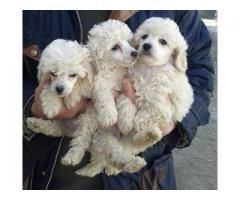 The Best Breed Hubs Poodle Breed Top Quality Puppies Available