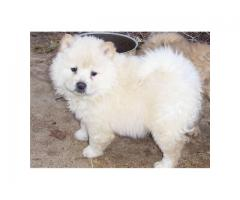The Best Breed Hub Chow chow Breed Top Quality Puppies Available
