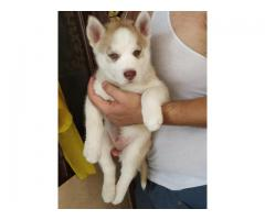 Siberian husky puppies available for sale in faith dog's kennel -8178402669
