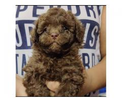PURE TOY POODLE