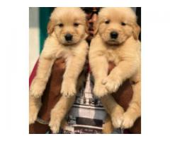 SHOW QUALITY GOLDEN RETRIEVER MALE AND FEMALE PUPPIES IN CHENNAI-8825694373