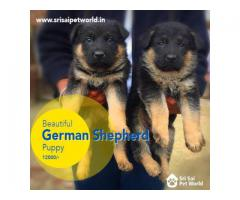 German Shepherd Puppy in Jalandhar 9888341827