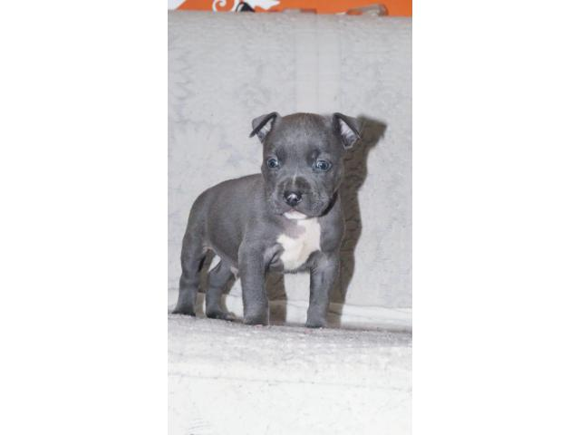 American bully from world champion line