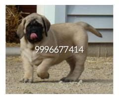 Show quality English mastiff puppies available