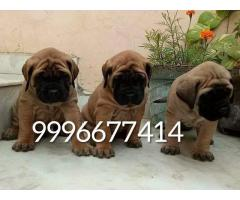 Top quality English mastiff puppies available