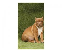 American bully for quality lover